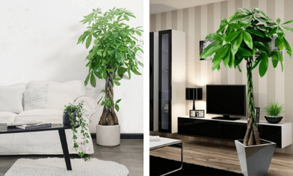 cay kim ngan - 10 loại cây xanh mang lại may mắn cho gia chủ tại phòng khách