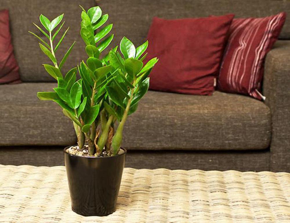 cay kim tien - 10 loại cây xanh mang lại may mắn cho gia chủ tại phòng khách