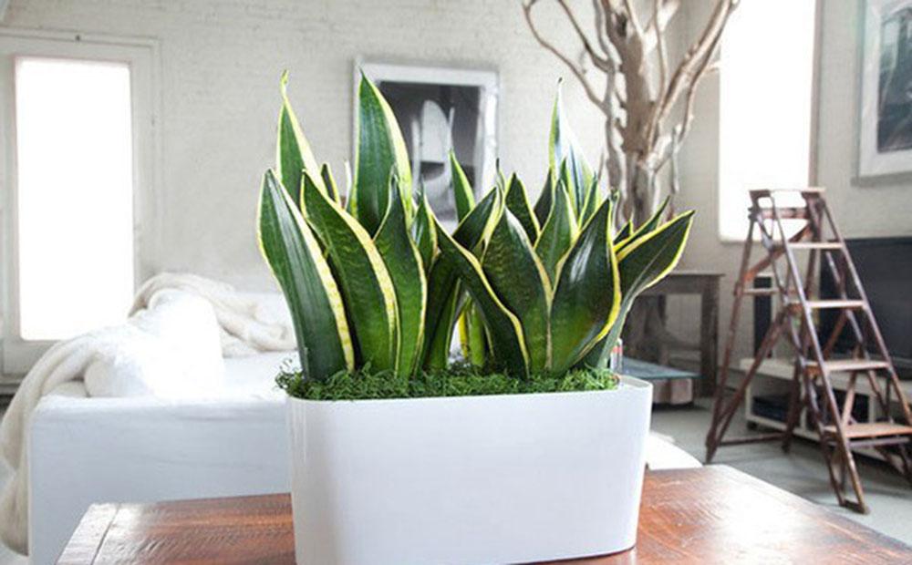 cay luoi ho - 10 loại cây xanh mang lại may mắn cho gia chủ tại phòng khách